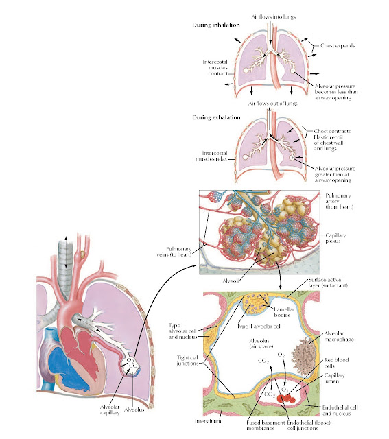 Gas Exchange Anatomy