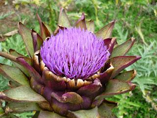 As principais variedades de alcachofra são: Violeta de Provença, Roxa de São Roque, Verde Laon, Camus da Bretanha e Roxa da Romanha. Pode ser comprada em lojas de produtos naturais, farmácias de manipulação, feiras livres e alguns mercados.  Alcachofra, também conhecida como Alcachofra-hortense ou Alcachofra comum, seu nome científico é Cynara scolymus.