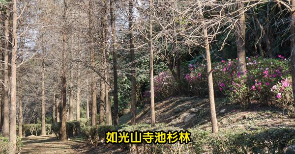 台中后里|2019如光山寺池杉林|杜鵑花步道|近泰安落羽松