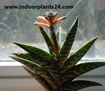 Aloe, Partridge Breast Aloe, Tiger Aloe Aloe variegata image plant