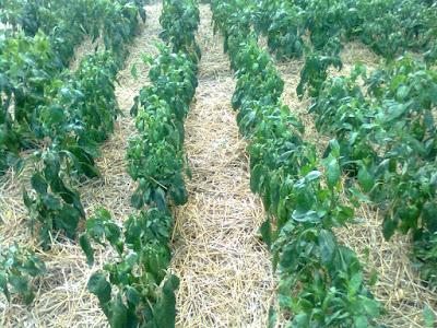 mulcirea plantelor de ardei cu paie de grau