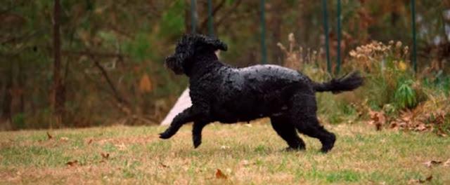 كلب الماء البرتغالي