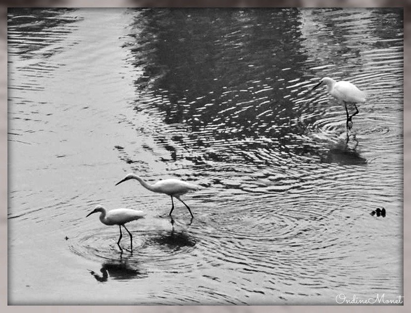 Black and white egret - photo#51