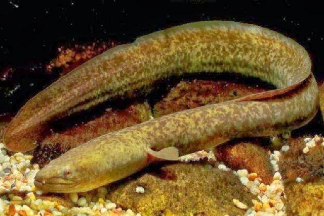 Manfaat Ikan Sidat Untuk Bayi dan Kesehatan