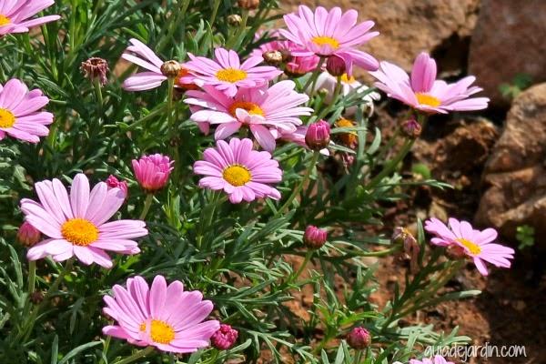 Margaritas de color rosa - Guia de jardin