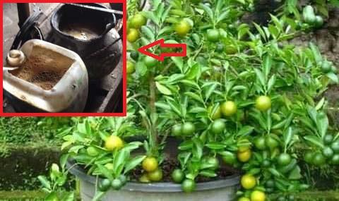 Cara Pembuatan Perangsang Bunga Untuk Tanaman Buah, Dijamin Joss..