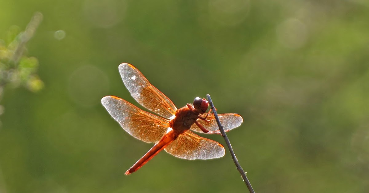 The Easy Loan Site >> Dragonflies | Desert Colors