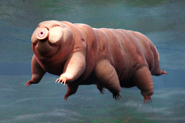Water Bear, Tardigrade