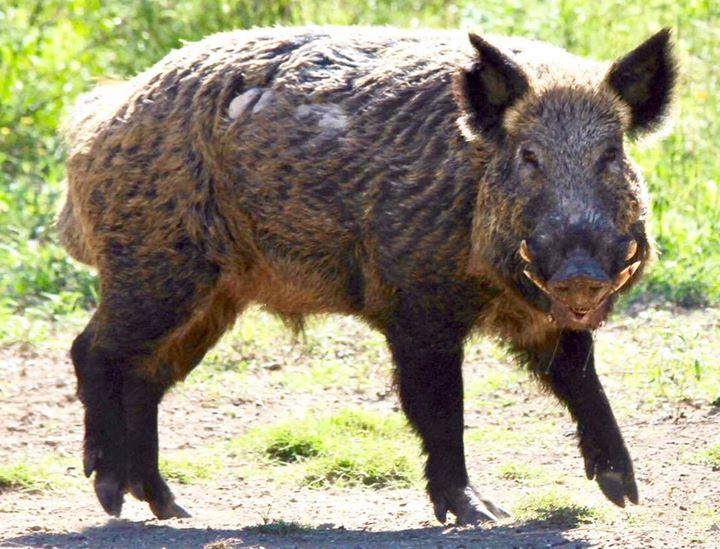 Wild Pigs and Mast Crops Wild Wonderings