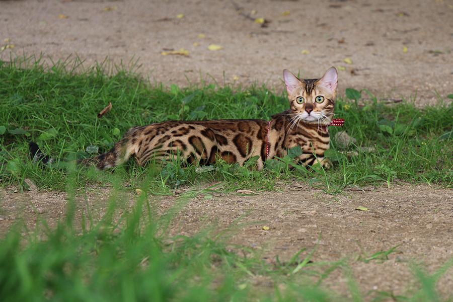 бенгальская порода, воспитание бенгала, характер бенгала, бенгальская кошка, умная кошка, эльза, кошка дает лапу, питание бенгала, как приучить кошку к туалету, кот туалет, леопардовая кошка, леопардовая порода, леопад