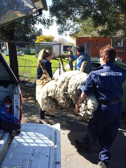 Chú cừu trông như quái vật béo ú vì không được cạo lông
