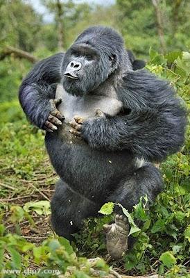 Imagen imponente gorila  foto