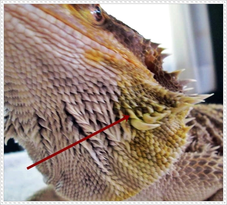 white patch on bearded dragon