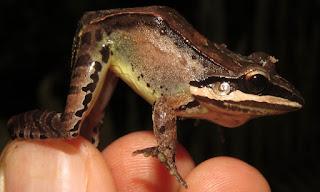 Leptodactylus didymus