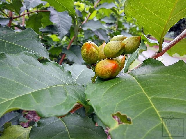 Peanut butter fruit, peanut butter tree,  Buchosia armenica w Singapurskim ogrodzie botanicznym. Ciekawe i mało znane owoce Ameryki Południowej. Wygląd, pokrój, kwiaty, owoce, liście.