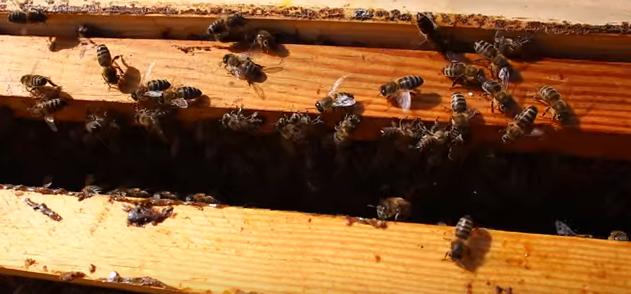 Το κλάμα των μελισσών μετά την ορφάνια VIDEO