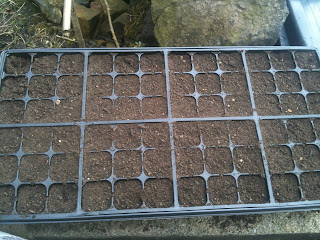 How to prick out seedlings into cell trays to make plug plants #gardening