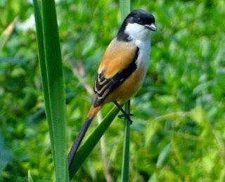 2 Cara Akurat Dan Efektif Mengatasi Burung Cendet Salto Yang Sudah Terbukti