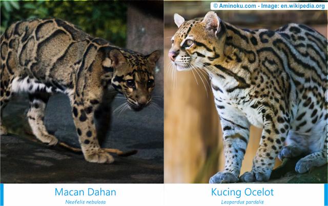 Perbedaan macan dahan dan kucing ocelot