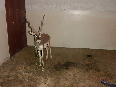 Black Buck Deer ~ ABDUL BASIT AND DANISH KAKAR BIRDS SHOP