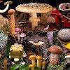 Ciri-ciri Kingdom Fungi (Jamur) dan Gambar Contohnya