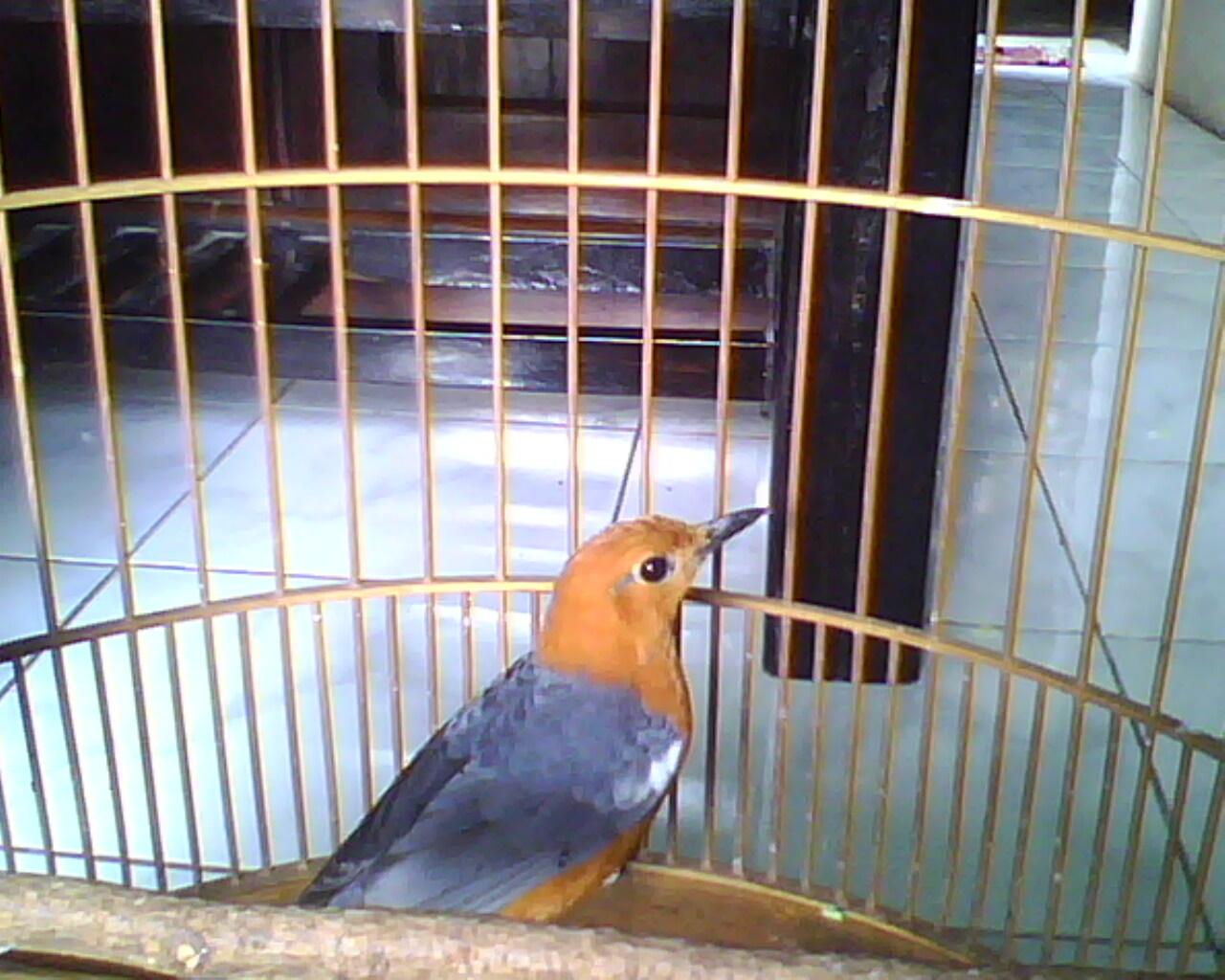 Belajar Seo Jakarta Cara Membedakan Burung Kenari Merah Wortel Asli Dengan Yang Palsu