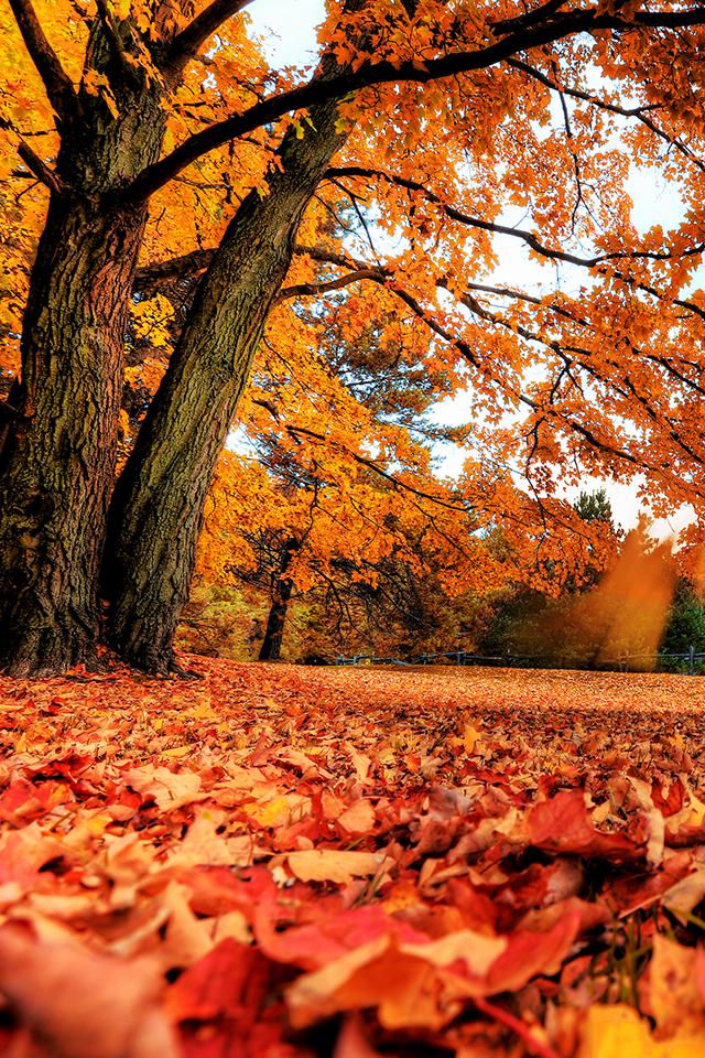 Maple Tree Wallpaper Covers Heat