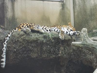 神戸市立王子動物園 ヒョウ