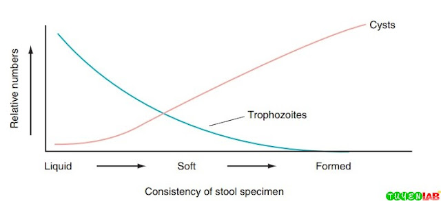Relationship of stool consistency to protozoan stage.