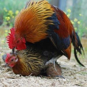 3 Cara Perkawinan Ayam Boga Aink