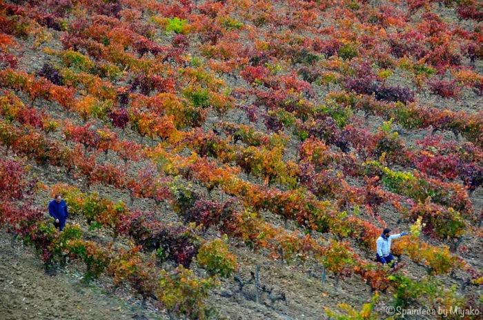 El Tren del Vino de La Rioja 北スペイン・リオハのワイン列車の車窓から見る紅葉した葡萄畑