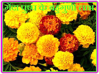 Multicolor benefits of marigold