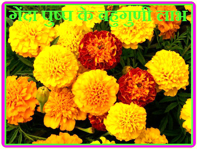 Multicolor benefits of marigold