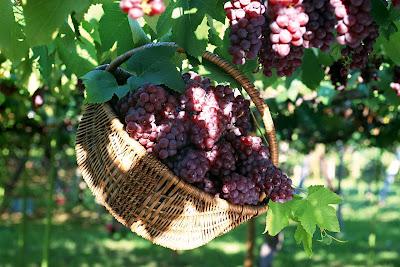 gambar pohon buah anggur