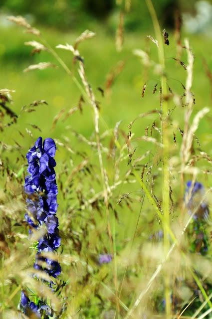 Flora Swiss Alps // Flora Schweizer Alpen