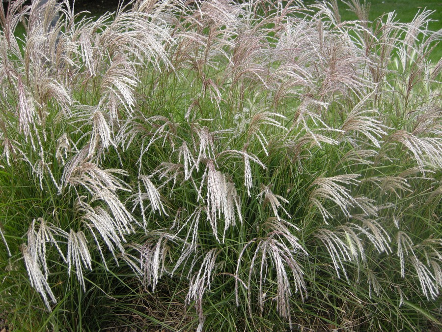 gramíneas ornamentales Miscanthus
