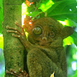 PIRATE Tarsier !