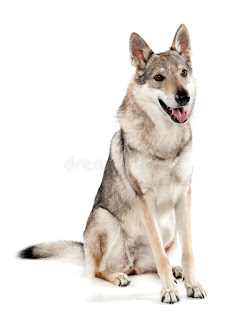 Everything about your Czechoslovakian Wolfdog
