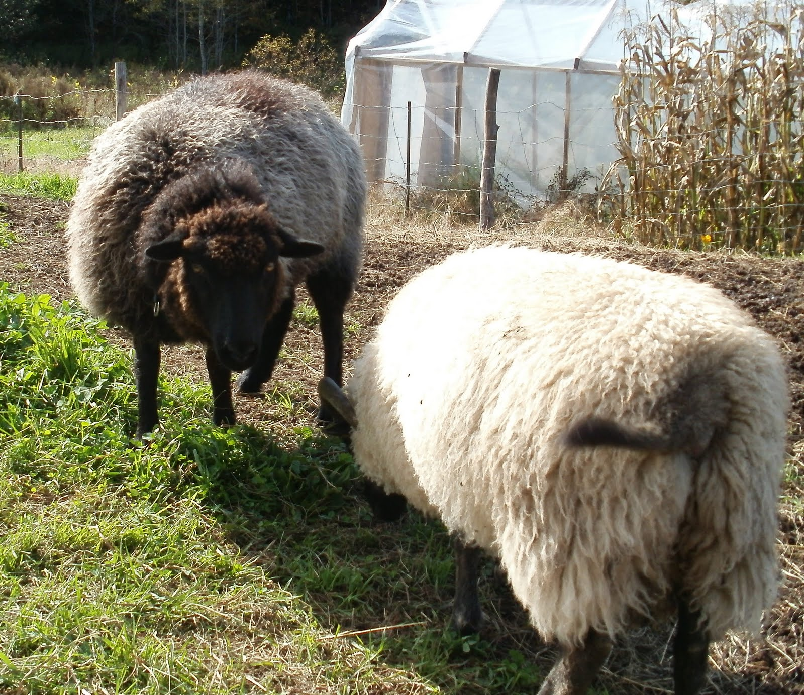 Pics of a sheeps asshole