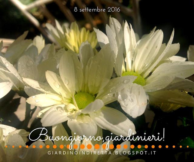 crisantemo multiflora bacardi - il giardino dalla A alla Z -  i fiori della settimana - un giardino in diretta