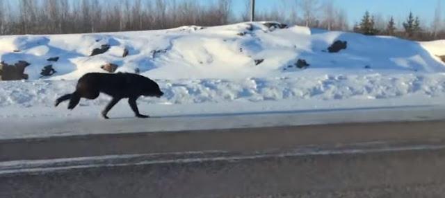 2 Lobos corren por la carretera y una mujer graba el suceso