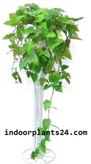 ClSSUS ANTARCTICA indoor plant image