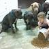 Esta pequeña de 4 años está entre la comida y los pitbulls. Pide a su mamá que mire y los perros reaccionan.