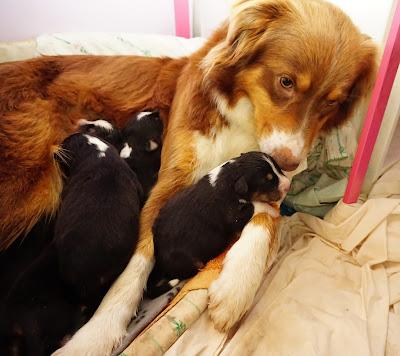 cachorros pastor australiano e mãe
