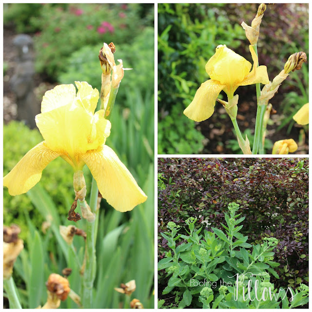 Yellow irises, Autumn Joy Sedum, Lorapetalum