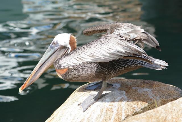 Aruba pelican