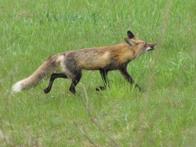 fox tail as it runs away