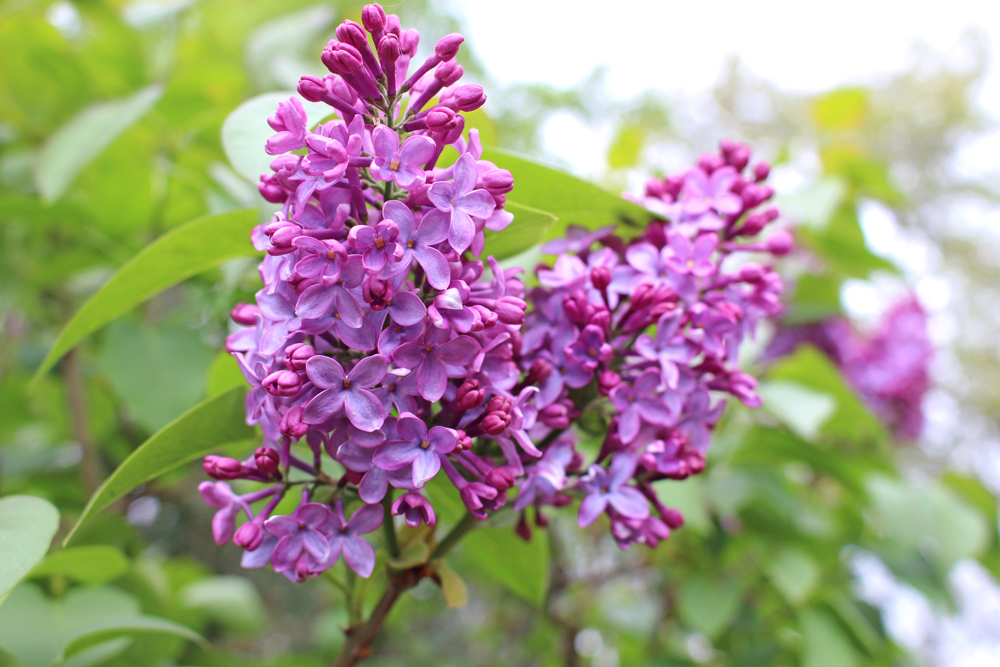 Lilac at Kew Gardens in Spring - London lifestyle blog