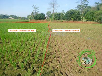 FOTO 3 : Sebelah kiri tanaman padi TRISAKTI MANGYONOcom  Umur 27 HST tumbuh subur.  Sebelah kanan tanaman padi TRISAKTI MANGYONOcom  Umur 0 HST