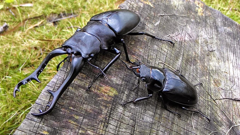 甲蟲森林: 世界第一長鍬~長頸鹿鋸鍬形蟲